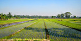 Wet Rice Plantings