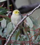 Lichenostomus penicillatus, White-plumed Honeyeater