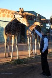 The Giraffes and Peter