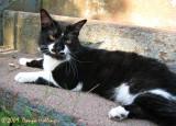 Tuxedo Kitty Tobias