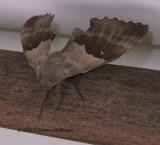 Modest Sphinx moth Pachysphinx modesta