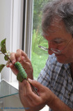Peter picking tachinid fly eggs off the cecropia moth caterpillar