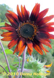 teddy Red Sunflower