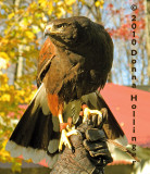 Harry the Harris Hawk