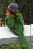 Rainbow Lorikeet on Jan's  Deck