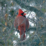 Turning Male Cardinal