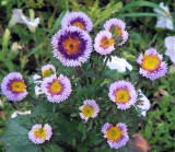 Moonglow  Asters in my Garden