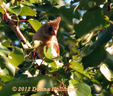 Immature Female Cardinal at my Neighbor's Fruit  tree