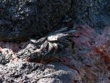 Black crab