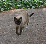 Feral Siamese ( A Miles' lookalike)