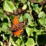 Mating Gulf Fritillaries