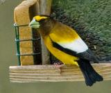 Evening Grosbeak Closeup