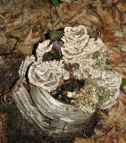 Mushroom roses on a birch stump