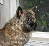 Golden Cairn Terrier