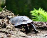 Turtle Turn tail