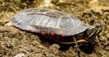 Turtle shell is about 5 inches long
