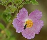 Beetle in a rose flower