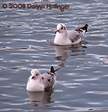 First winter Black-headed Gulls