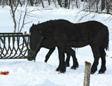 Black Horses at Rose's Farm