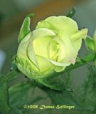 Rose Tinted Ivory Rose