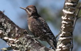 A Juvenile Yellow-bellied Sapsucker