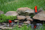 Scarlet Tanagers - males