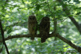 Young Barred Owls - Compton Mt