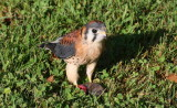 American Kestrel with mouse kill