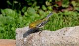 Black-throated Green Warbler - female