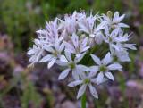 Allium canadense var. mobilense