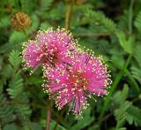 Pink Species