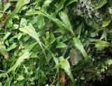 Asplenium rhizophyllum