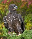 immature eagle, captured