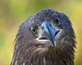 American Eagle, immature, captured