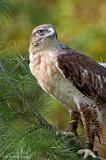Rough-legged hawk, captured