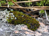 Andreaea rupestris - Sotmossa - Black Rock-moss