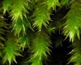 Leucodon sciuroides - Allémossa - Squirrel-tail Moss