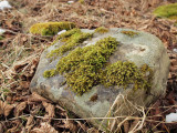 Hedwigia ciliata - Kakmossa - Fringed Hoar-moss