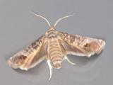 Äpplevecklare - Cydia pomonella - Codling Moth