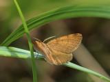 Ockragul buskmätare - Macaria brunneata - Rannoch Looper