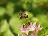 Fältslamfluga - Eristalis interrupta - Dronefly