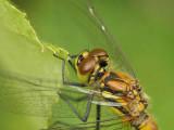 Svart ängstrollslända (hona) - Sympetrum danae - Black Darter (female)
