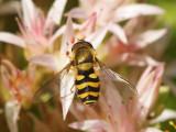 Mindre solblomfluga - Syrphus vitripennis