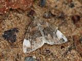 Vitfläckad fältmätare - Dysstroma citrata - Dark Marbled Carpet