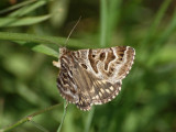 Vitbrokigt slåtterfly - Callistege mi - Mother Shipton
