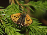 Svartfläckig glanssmygare - Carterocephalus silvicola - Northern Checquered Skipper