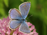 Ängsblåvinge - Polyommatus semiargus - Mazarine Blue