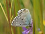 Silverblåvinge - Polyommatus amandus - Amanda's Blue