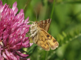 Gulbrokigt slåtterfly - Euclidia glyphica - Burnet Companion