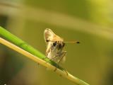 Mindre tåtelsmygare - Thymelicus lineola - Essex Skipper